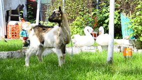Goat in a garden stock footage