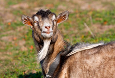 Goat in garden at sunny day Stock Photo