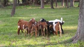 Goat Gathering Stock Photo