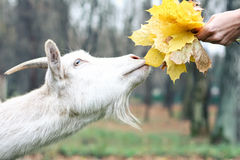 Goat gets the food. Leafs Stock Image