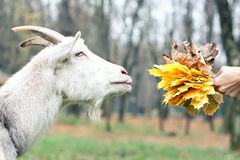 Goat gets the food. Leafs Royalty Free Stock Photo