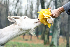 Goat gets the food Royalty Free Stock Photo