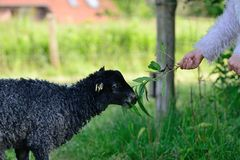 Goat getting fed by hand Stock Image