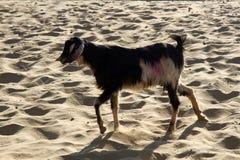 Goat in Goa. Beach Goat in Goa. India stock photo