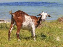 The goat Royalty Free Stock Photography