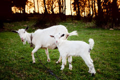 Goat and goatling Stock Photo