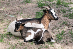 Goat with goatling Royalty Free Stock Photos