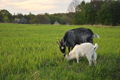 Goat and goatling stock images
