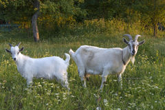 Goat and goatling Stock Photos