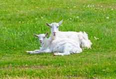 Goat with goatlings. Royalty Free Stock Images