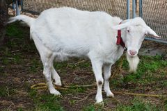 A goat Stock Image