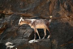 Goat. S in a rock cliff royalty free stock photo