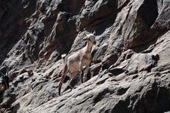 Goat. S in a rock wall stock photo