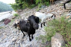 Indian goats on wide-angle near a river Stock Photos