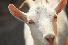 A goat with goats will go to the yard Royalty Free Stock Photography