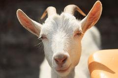 A goat with goats will go to the yard Royalty Free Stock Image
