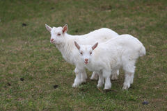 A goat with goats will go to the yard Royalty Free Stock Photo
