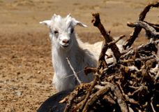 Goat in the Gobi desert, Mongolia. A goat playing hide-and-seek around a pile of firewood on the edge of the Gobi Desert in Mongolia Stock Photos