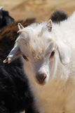 Goat in the Gobi desert, Mongolia. Close up of a goat on the edge of the Gobi Desert in Mongolia stock images