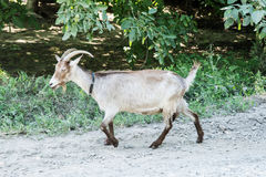 Goat goes on road Stock Image
