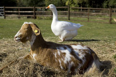 Goat and goose Stock Photo