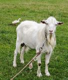 Goat and Goose Stock Images