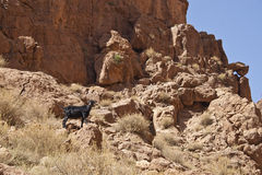 Goat in Gorge du Dades Stock Photos