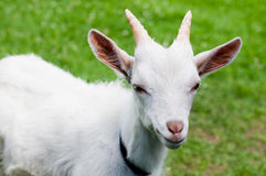 Goat in grass Stock Photo