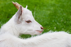 Goat in grass Royalty Free Stock Photo
