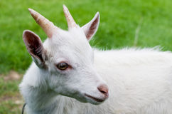 Goat in grass Royalty Free Stock Image