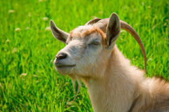 Goat in the grass. Goat head with long horns in green grass Royalty Free Stock Images