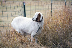 Goat in the grass by a fence. Royalty Free Stock Photo
