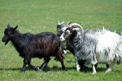 Goat on a grass field Royalty Free Stock Image
