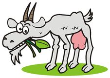 Goat and grass Royalty Free Stock Image