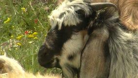 Goat in grass (from kapadokya). HD 1080i stock video footage