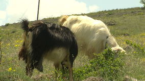 Goat in grass (from kapadokya). HD 1080i stock footage