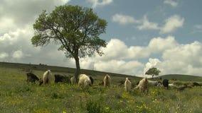Goat in grass (from kapadokya). HD 1080i stock video