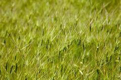 Goat grass on the meadow Royalty Free Stock Image
