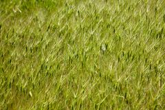 Goat grass texture Royalty Free Stock Photo
