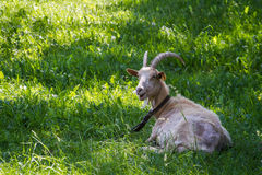 Goat on the grass. White goat lying on green grass Stock Photography