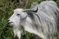 Goat. Gray goat in the village of inikli, iznik, turkey stock photography