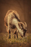 Goat graze. Grass at field Stock Image