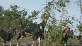 Goat graze the grass stock footage