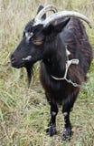 Goat grazed Royalty Free Stock Image