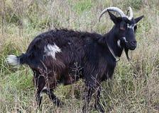 Goat grazed Stock Image