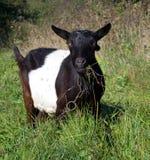 Goat grazed Stock Photography