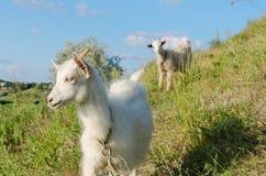 Goat grazed Royalty Free Stock Images