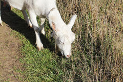 The goat is grazed in the fall Royalty Free Stock Photo