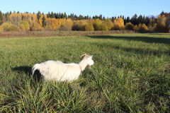 The goat is grazed on a green grass in the fall Royalty Free Stock Photos