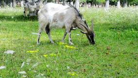 Goat grazed stock video